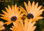Puzzle de fleurs