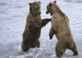 Combat des ours