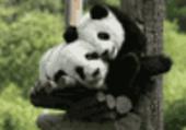 Puzzle de pandas