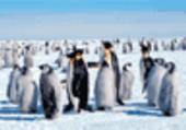 Puzzle Puzzle de pingouins