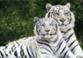 Puzzle Puzzle tigres blancs