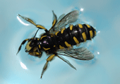 Puzzle d'une abeille entrain de nager