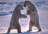Puzzle Puzzle de la bataille des ours