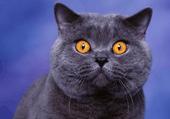 Puzzle Puzzl d'un chat aux yeux persants