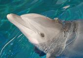 Puzzle Puzzle d'un dauphin vraiment trop beau
