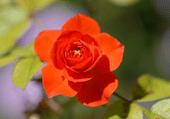 Puzzle d'une jolie fleur toute rouge
