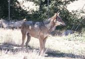 Puzzle le loup qui fait peur aux petits enfants !