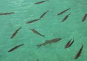 Puzzle gratuit d'animaux: les poissons