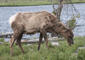 Puzzle d'un Mule deer ..le daim américain