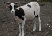 Puzzle Puzzle d'une petite chèvre vraiment jolie