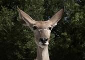 Puzzle Puzzle d'un animal très gentil : la biche
