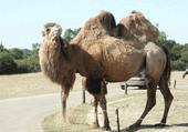 Puzzle d'un chameau avec ses deux bosses !