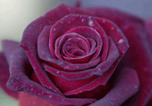 Macro photo et puzzle : rose