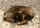 Puzzle animal : Biquette Parc de Sigean
