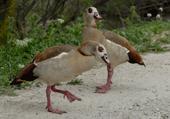 Oiseaux sauvages : réserve africaine de Sigean