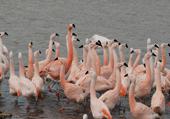 Photo réserve de Sigean : les flamands roses