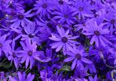 Puzzles de fleurs violettes