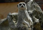 Puzzle Puzzle de lémuriens : trop beaux