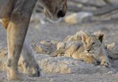 Puzzle gratuit d'un petit Lionceau