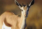 Springbok : une gazelle bien rapide
