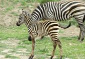 Zoo de sigean : zèbres