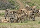Puzzle Puzzle d'un troupeau de zèbres