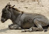 Puzzle Jeu de puzzle d'animaux : petit âne