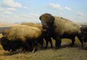 Puzzle : les bisons