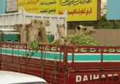 Transport de chameaux