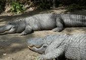 Puzzle de crocodiles