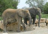 Puzzle d'éléphants d'Afrique