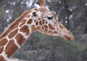 Girafe: zoo de Sigean