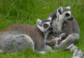 Puzzle Puzzles de la famille des lémures