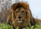 Puzzle d'animaux : le lion de Sigean