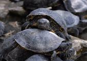 Puzzles d'animaux: les tortues