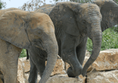Puzzles des élephants