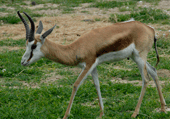 Photo et puzzle d'un Springbok