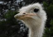 Emeu ou autruche