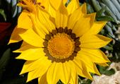 fleur ou soleil