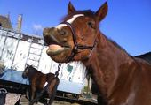 Puzzle cheval Patchouli flehmen