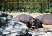 Puzzle puzzle d'hippopotame