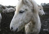 Puzzle gratuit chevaux