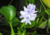Puzzle jacinthe d'eau