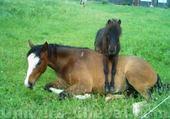 Puzzles cheval poulain