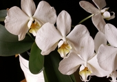Jeu puzzle orchidé
