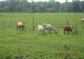 Puzzle en ligne vaches