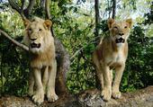 Jeu puzzle les lions