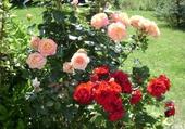 Puzzle roses