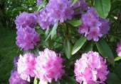 Puzzles rhododendron