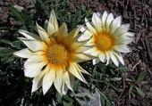 Puzzle fleurs de tonton Daniel
